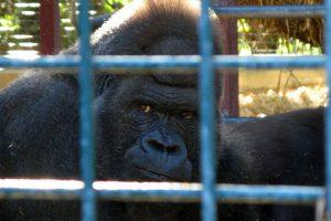 Krulwich on Gorilla Cage Drama