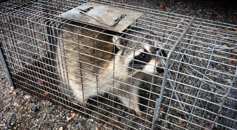 photo of raccoon in a cage