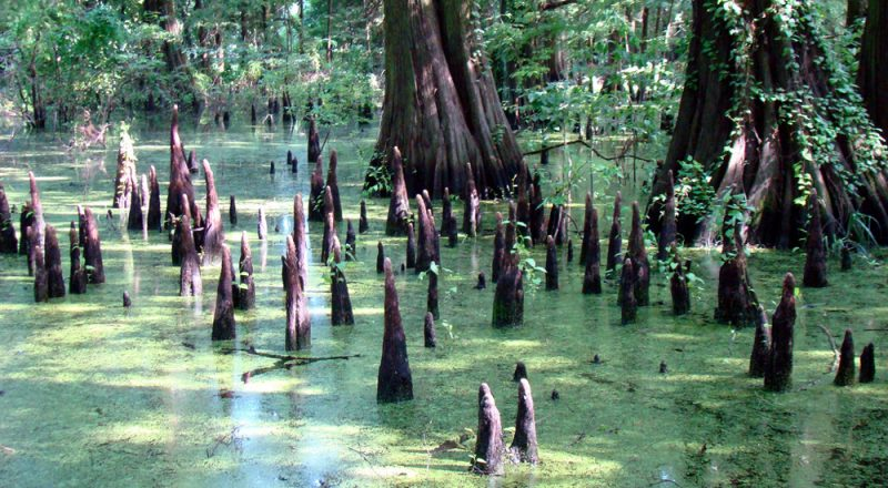 photo of Cypress Knees