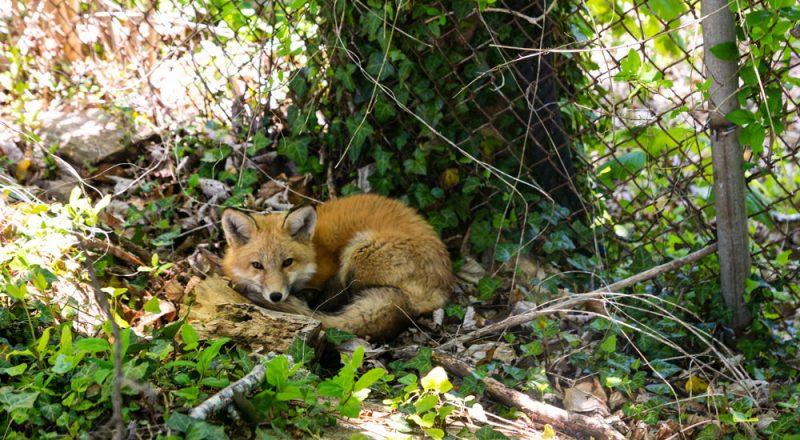 Woods Hole fox