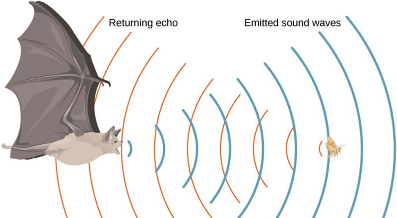 diagram of echolocation